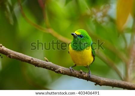 Colorful, yellow and bright green, small tropical bird, Blue-naped Chlorophonia,Chlorophonia cyanea psittacina, perched on twig against blurred green leaves. Close up,wildlife photo. Colombia.  - stock photo