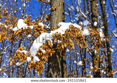 Colorful yellow autumn style tree leaves covered partially with some snow over a blue sky - stock photo