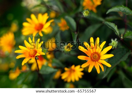 Colorful yellow flowers surrounded by green leaves. - stock photo