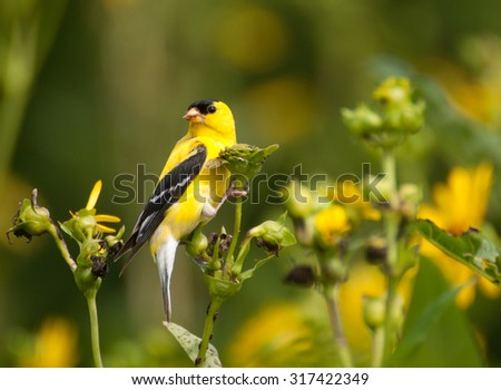 Colorful yellow male American goldfinch (spinus tristis) in summer plumage, feasting on seeds of wild sunflowers