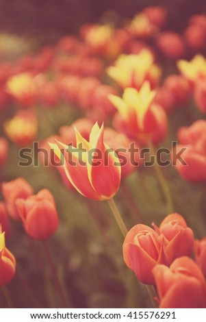 Colorful yellow red tulips in the flower garden