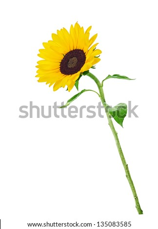 colorful yellow sunflower isolated on white  background - stock photo