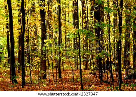Colorful young fall forest glowing in sunlight