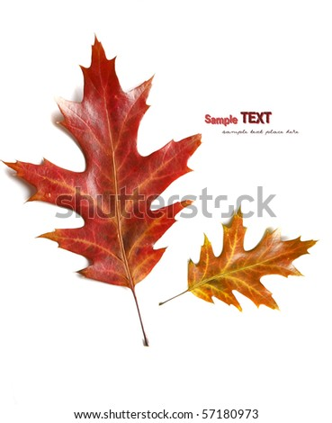 Colorfull autumn oak leaves isolated on the white background - stock photo