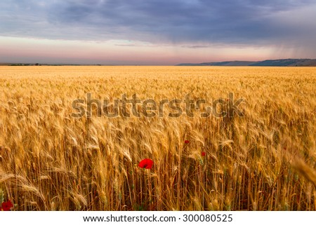 Colors of Apulia.Rural landscape: corn field with lone poppy. ITALY - stock photo