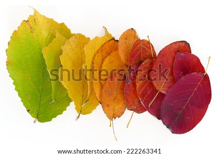 colors of autumn, leaves in green, yellow, orange and red isolated on white background - stock photo
