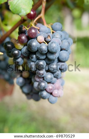 Colors of vineyard in autumn - stock photo