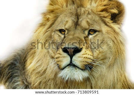 Colour lion with white backround. Face lion. Portrait dominant lion.