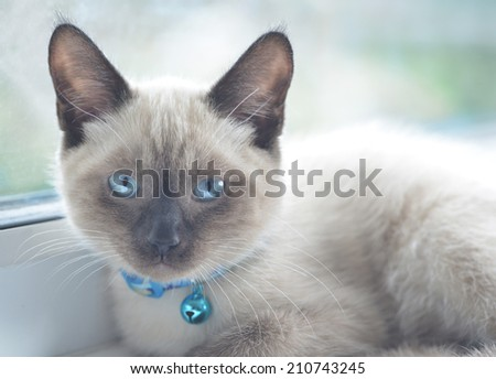 Colour point cat with blue eyes lying in a window. - stock photo
