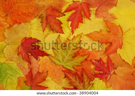 coloured fresh leaf of autumn as background