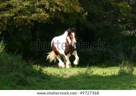 coloured Irish Cob stallion running in the pasture - stock photo