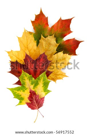 Colourful autumnal arrangement with different maple leaves on white background
