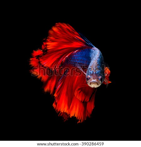 Colourful Betta fish,Siamese fighting fish in movement isolated on black background. - stock photo