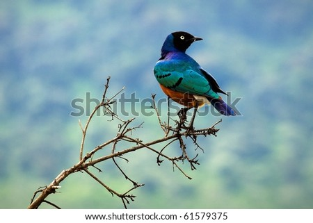 Colourful bird Superb Starling sits on a branch on a bright blue-green background.