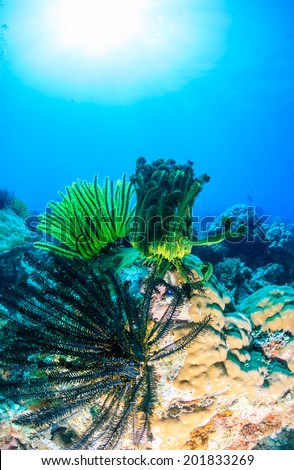 Colourful feather stats on a tropical coral reef - stock photo