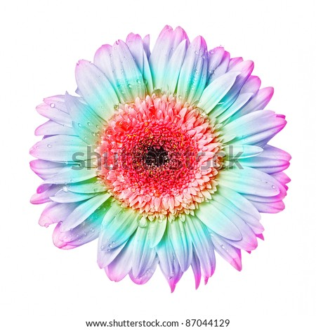 Colourful gerbera with dew  isolated - stock photo