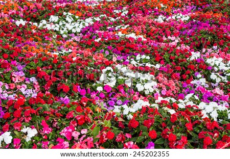 Colourful impatiens flowers background - stock photo