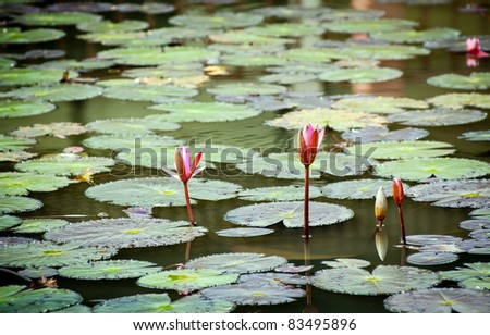 Colourful lily pad's on a pond