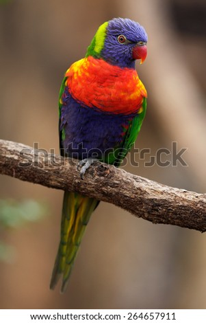 Colourful parrot Rainbow, Lorikeets Trichoglossus haematodus, sitting on the branch, Australia - stock photo