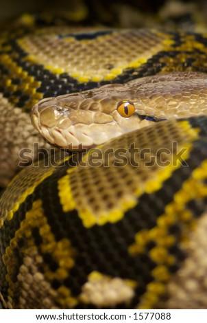 Colourful Python crawled up staring snake - stock photo