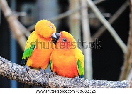 Colourful Sun Conure parrot bird kissing on the perch - stock photo