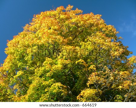 Colourful tree in autumn and blue sky