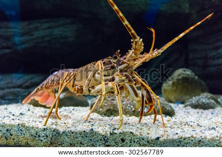 Colourful Tropical Rock lobster under water, - stock photo