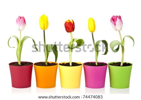colourful tulip flowers in colourful pots isolated on white background - stock photo
