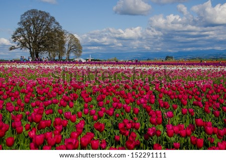 Colourful tulips in Oregon - stock photo