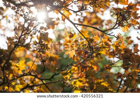 Colours of A Copper Beech Tree in Spring. A Copper Beech Tree stands in direct sunlight glowing with the colour of the new foliage.