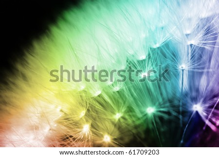 Colours of Rainbow on a detail of dandelion