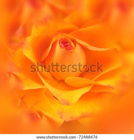 colse-up of yellow and orange rose - stock photo