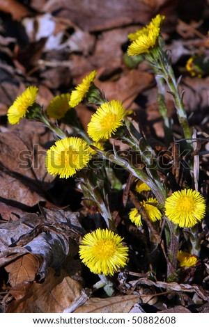 Coltsfoot Batch Of Flowers - stock photo