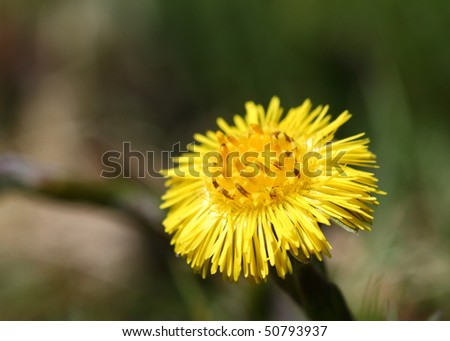Coltsfoot bloom in spring - stock photo