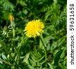 Coltsfoot flower closeup. - stock photo