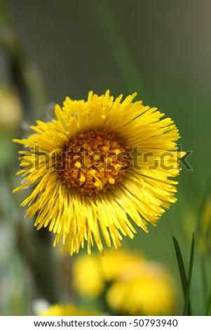 Coltsfoot flower head closing - stock photo