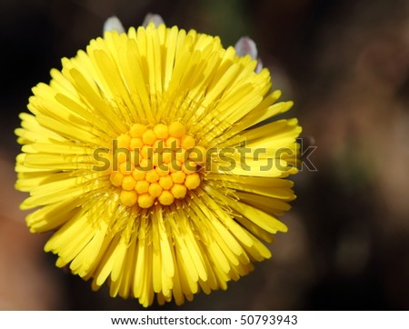 Coltsfoot flower head in spring - stock photo
