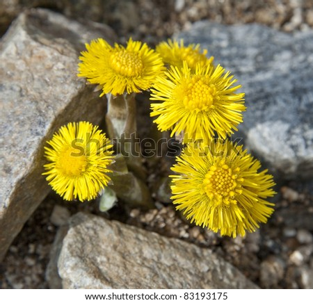 coltsfoot - herb