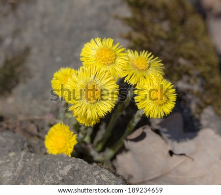 coltsfoot in the spring day close up