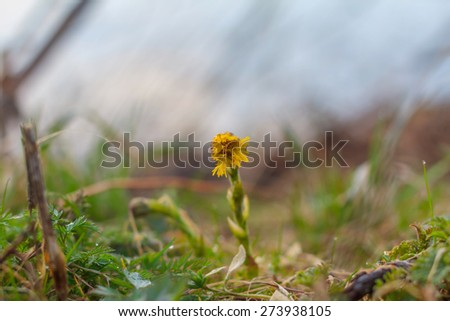 Coltsfoot in the spring outdoors. First spring flowers - stock photo