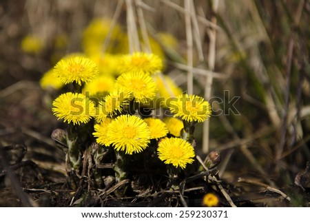 Coltsfoot, the first spring yellow flowers
