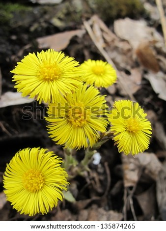 Coltsfoot (Tussilago farfara L.) flowers in the spring forest
