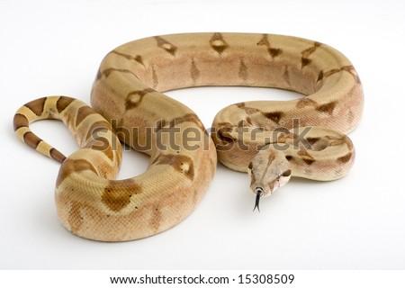 Columbian Boa (Boa constrictor imperator) in hypomelanistic color phase - stock photo