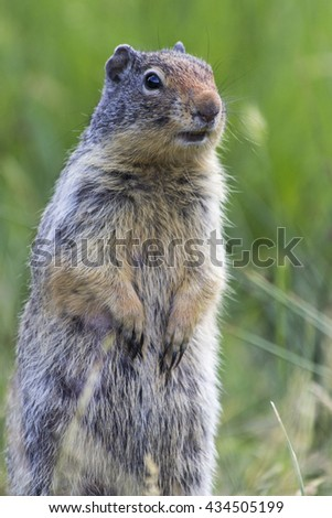Columbian Ground Squirrel in Cascade Pond, Banff National Park, Alberta, Canada - stock photo