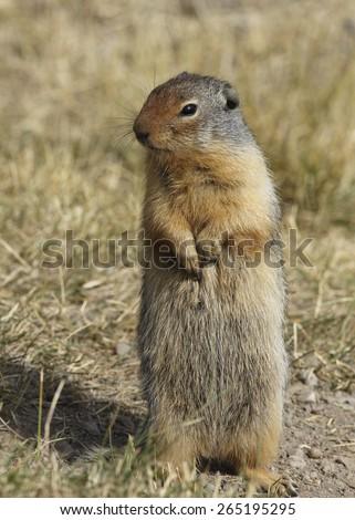 Columbian Ground Squirrel (Urocitellus columbianus) standing on its hind legs - Banff National Park, Alberta, Canada - stock photo