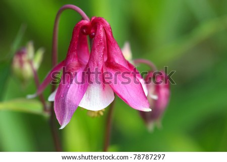 Columbine Flower Aquilegia canadensis - stock photo