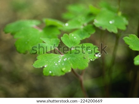 Columbine plant with drops of water on leaves - stock photo