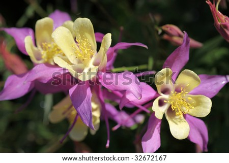 Columbines, the state flower of Colorado, shimmer in the morning sunshine - stock photo