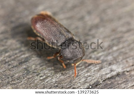 Comb-antenned wood borer, anobiidae on wood, extreme close-up - stock photo