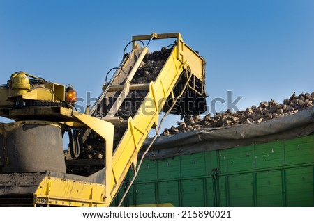 Combine harvester dumping sugar beet in trailer  - stock photo
